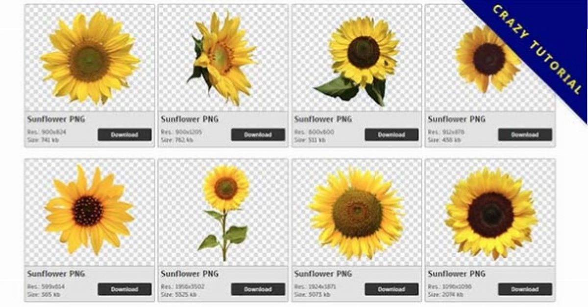 47 Sunflower PNG image download free