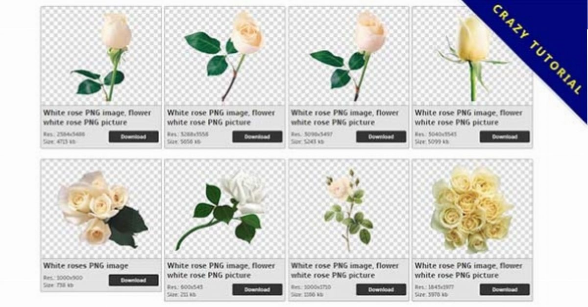 27 White roses PNG images are free to download